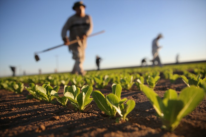 Migrant Workers Farm Crops In Southern CA_-679599782484554313